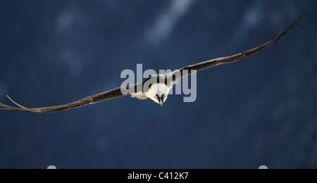 Bartgeier, Bartgeier (sollten Barbatus). Erwachsenen im Flug, frontal gesehen. Spanien. - Stockfoto