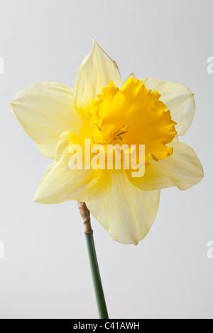 nahaufnahme der gelben narzissen stockfoto bild 48815738 alamy. Black Bedroom Furniture Sets. Home Design Ideas