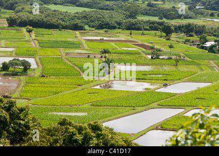 Überfluteten Taro-Felder die Hanalei River. Eine Mischung aus überflutet und wachsende Taro-Felder. Der Taro-Felder - Stockfoto