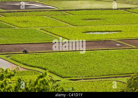 Taro-Felder entlang des Hanalei River mit Traktor. Der Taro-Felder schimmern in der heißen Sonne wie ein Traktor - Stockfoto