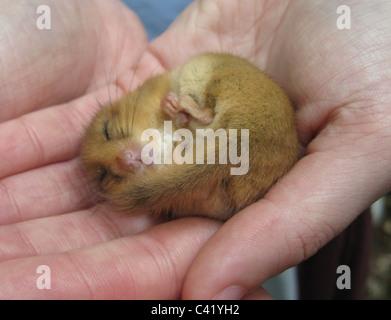 HAZEL DORMOUSE (Muscardinus Avellanarius) kleine Säugetier in Europa und Kleinasien heimisch. Foto Tony Gale - Stockfoto