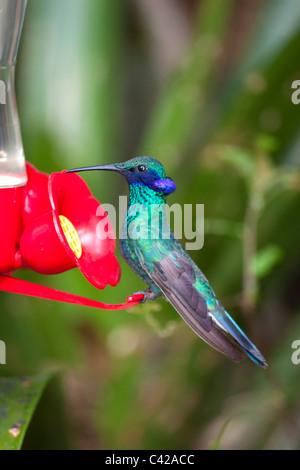 Leymebamba, Museum. Kolibris im Garten des Kentikafe-Museums-Café. Funkelnde violett-Ohr (Colibri Coruscans). - Stockfoto