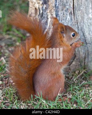 Europäische Eichhörnchen (Sciurus Vulgaris), UK - Stockfoto
