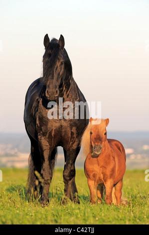 Friesen (Equus Ferus Caballus). Hengst mit seiner Freundin, ein Mini-Shetland-Pony. Deutschland. - Stockfoto