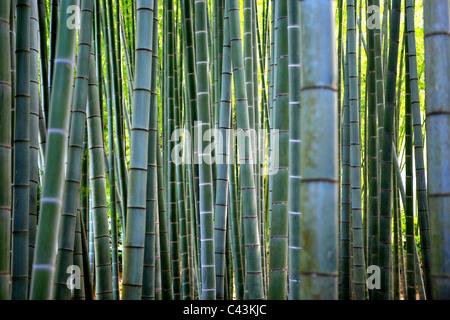 Bambus, Zen-Kloster-Garten, Kamakura, Hokoku-Ji, Japan Stockfoto ...