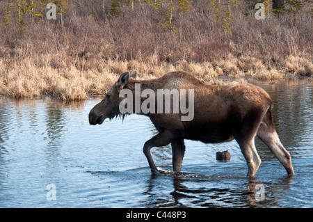Elch, Alces Alces entlang Denali Highway, Alaska, Nordamerika, USA, Tier, Teich, Wandern - Stockfoto