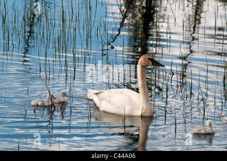 Cygnets, Trompeter Schwan, Cygnus Buccinator, Yukon, Kanada, Nordamerika, Hühner, jung, Amerika, Vögel, Tiere, Schwimmen - Stockfoto