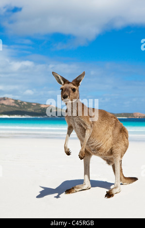 Känguru am Strand von Lucky Bay. Cape Le Grand Nationalpark, Esperance, Western Australia, Australien - Stockfoto
