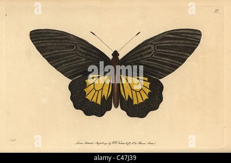 Gemeinsamen Birdwing Schmetterling, Troides Helena. - Stockfoto