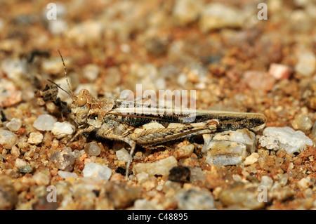Grabende Heuschrecke, die Farbe der Erde und Steinen, Namaqualand, Südafrika - Stockfoto