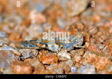 Grabende Heuschrecke, Mimicrying Boden, Goegap Nature Reserve, Namaqualand, Südafrika - Stockfoto