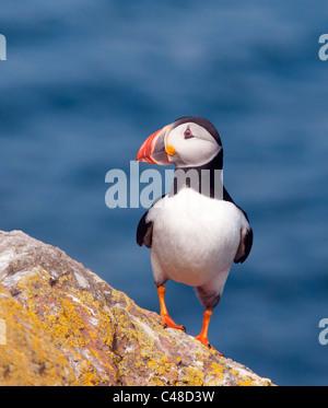 Thront Papageitaucher auf Skomer Island vor der Küste von Pembrokeshire in Wales - Stockfoto