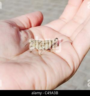 Braune Grashüpfer auf der Handfläche einer Hand sitzen - Stockfoto