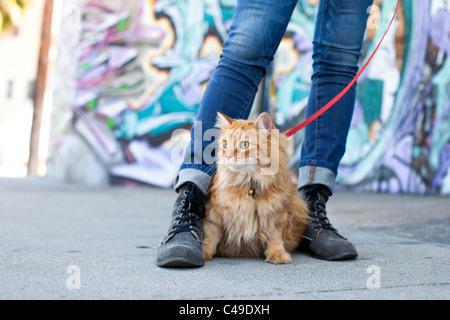 Eine kleine langhaarige orange Katze auf ein Geschirr und Leine sitzen zwischen den Füßen des Besitzers in einer - Stockfoto