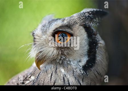 Ein Porträt einer White-faced Zwergohreule-Eule, eine Art kleine Eule mit Ohr-Büschel, die ausgelöst werden, wenn - Stockfoto