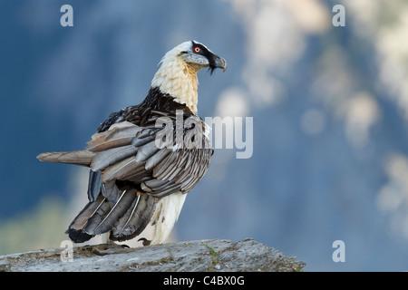 Bartgeier, Bearded Vulture, (sollten Barbatus), Erwachsener, Pyrenäen, Spanien. - Stockfoto