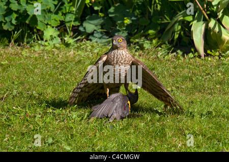 Sperber auf Starling Babyvogel im Garten nach kill - Stockfoto