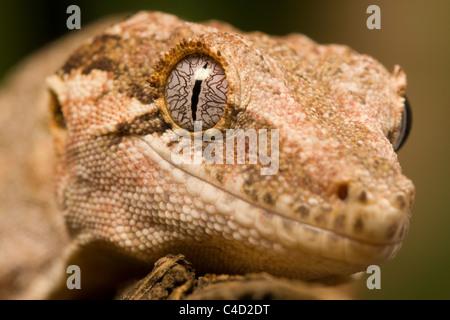 Wasserspeier Gecko oder neue Caledonian holperige Gecko, Rhacodactylus Auriculatus, Nahaufnahme portrait - Stockfoto