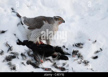 Eurasische Sperber (Accipiter Nisus) Fütterung auf eine gemeinsame Raven (Corvus Corax). Finnland. - Stockfoto