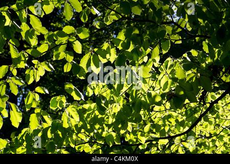 Die Sonne scheint durch die frisch geöffneten Ulme Blätter im Frühjahr Stockfoto