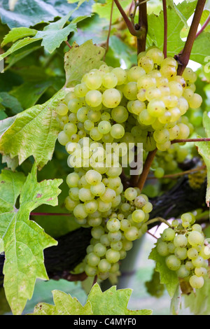Bacchus Schonberger Trauben an Weinreben für die britische Weinproduktion an die drei Chöre Weinberg, Newent, Gloucestershire - Stockfoto