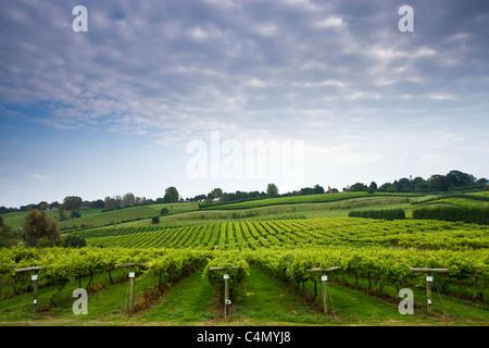 Trauben wachsen auf Weinreben für die britische Weinproduktion an die drei Chöre Weinberg, Newent, Gloucestershire - Stockfoto