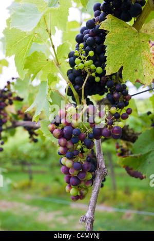 Schwarze Trauben Reichensteiner an Weinreben für die britische Weinproduktion an die drei Chöre Weinberg, Newent, - Stockfoto
