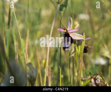 Eine Biene Orchidee wachsen wild in einem Steinbruch in Matera, Süditalien. - Stockfoto