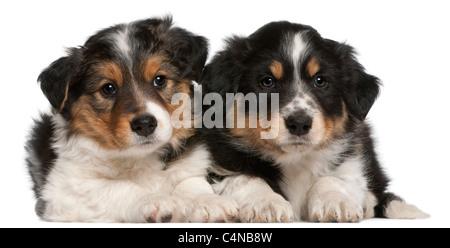 Border-Collie-Welpen, 6 Wochen alt, vor weißem Hintergrund liegen - Stockfoto