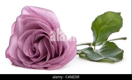 Rosa aqua Stockfoto