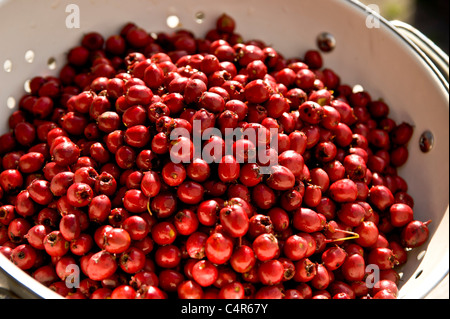 Hawberries in Sieb - Stockfoto
