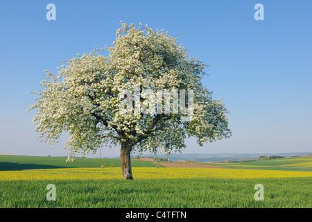 Birnbaum in voller Blüte in Wiese, Mettlach, Merzig-Wadern Kreis, Saarland, Deutschland - Stockfoto