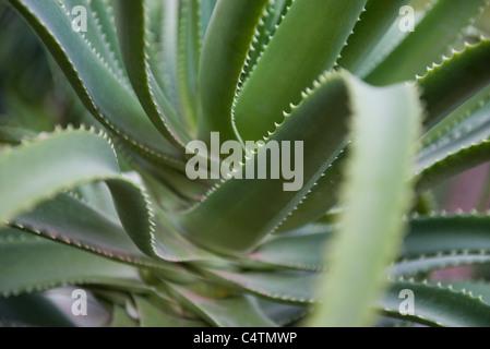 Aloe Vera Pflanze - Stockfoto