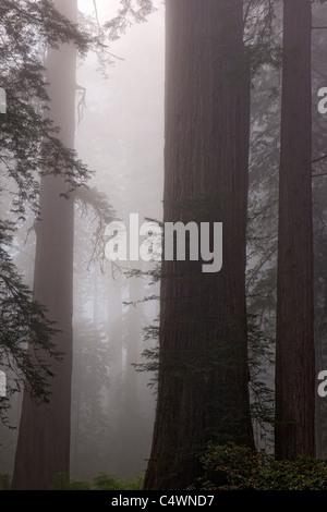 Riesigen Redwood-Bäume und Nebel in der Lady Bird Johnson Grove of California Prairie Creek Redwoods State und National - Stockfoto