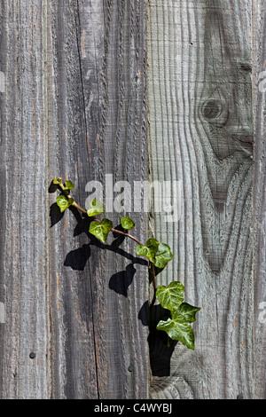 Efeu wächst durch Holzzaun UK Stockfoto