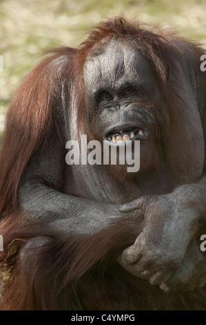 Bornean Orangutan Pongo Pygmaeus sitzen auf dem Rasen Arme gefaltet und ziehen ein seltsames lustiges Gesicht - Stockfoto