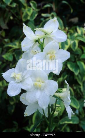 Delphihium Belladonna 'Casa Blanca' Rittersporn weiße Blume Blumen Garten Pflanzen - Stockfoto