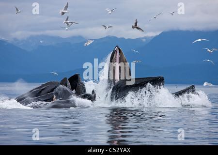 Buckelwale Blase net Fütterung für Hering in Chatham Strait, Inside Passage, Alaska - Stockfoto