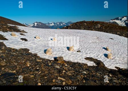 Blick auf sieben Bergziegen ruht auf einem großen Stück Schnee von Harding Icefield Trail in Kenai Fjords Nationalpark, - Stockfoto