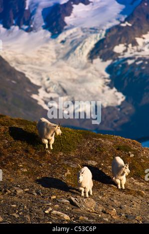 Drei Bergziegen zu Fuß auf einem Bergrücken in der Nähe von Harding Icefield Trail in Kenai Fjords Nationalpark, - Stockfoto
