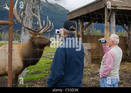 Close-up fotografieren Senior Touristen einen Erwachsenen Roosevelt Stier Elch auf die in der Nähe von Portage, - Stockfoto