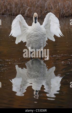 Trompeter Schwan Flügeln es mit Reflexion sichtbar in Potter Marsh, Anchorage, Yunan Alaska, Herbst Stockfoto