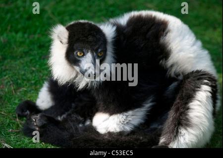 Black Lemur (Eulemur Macaco) männliche Tier sitzen und Sonnenbaden - Stockfoto