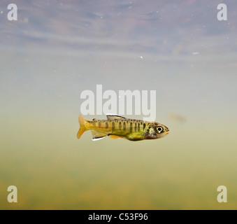 Unterwasser-Blick von einer kürzlich aufgetauchten Coho Lachs Braten Aufzucht in 18-Mile Creek, Copper River Delta, - Stockfoto