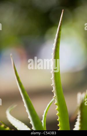Nahaufnahme einer Aloe-Pflanze - Stockfoto
