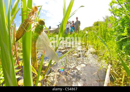 aufstrebenden Kaiser Libelle - Stockfoto