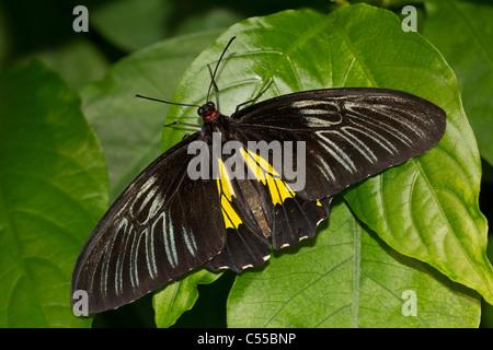 Gemeinsamen Vogelfalter (Troides Helena) Schmetterling auf einem grünen Blatt - Stockfoto