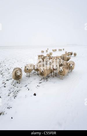 Die Niederlande, Garrelsweer, Schafe im Schnee - Stockfoto