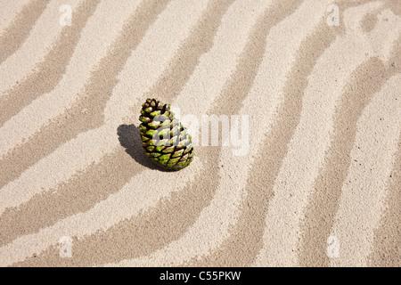 Den Niederlanden, Loon Op Zand, Nationalpark De Loonse En Drunense Duinen. Tanne Kegel im Sand. - Stockfoto