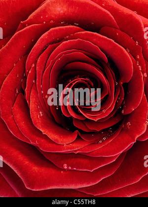 Nahaufnahme Foto von einer schönen roten Rose mit Wassertropfen auf ihre Blütenblätter - Stockfoto
